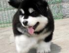 重庆长相超好的一窝阿拉斯加幼犬出售,价格可以商量哦