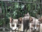 东莞英短 出售英短 英国短毛猫 蓝猫 欢迎上门挑选