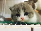 网红猫,明星猫,英短渐层蓝白,美短幼猫 1千多