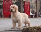 青岛哪里有金毛犬出售 青岛纯种金毛多少钱 青岛哪里有金毛犬舍