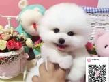 纯种博美犬狗狗出售