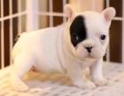 重庆里出售法国斗牛犬 重庆哪家宠物店信誉好