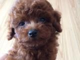 成都泰迪出售 成都哪里可以买到好一点的泰迪幼犬