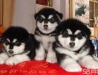 株洲哪有阿拉斯加犬卖 株洲阿拉斯加犬价格 阿拉斯加犬多少钱