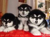 岳阳哪有阿拉斯加犬卖 岳阳阿拉斯加犬价格 阿拉斯加犬多少钱