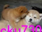 精品秋田犬,签协议包活包健康,今日购犬有优惠