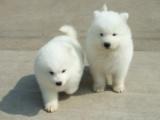 南京出售 纯种萨摩耶犬 活签协议丨疫苗驱虫做完丨送用品