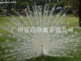 广东喜迎珍禽养殖河北孔雀苗、河北元宝鸡