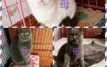 出售猫舍所有猫咪,不养了