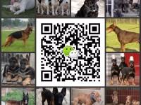 西安地区出售杜高,卡斯罗,马犬