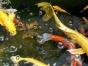 锦鲤鱼苗 观赏鱼