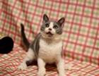 大连蓝猫照片 大连哪里有健康的蓝猫出售 大连哪里有猫舍卖猫咪