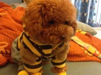 广州犬舍出售名犬 泰迪 比熊 巴哥 金毛 哈士奇幼犬等品种