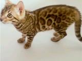 浙江嘉兴出售豹猫幼崽一般多少钱