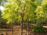 铜州15鹤岗樱花树种植基地在