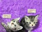英短蓝猫美短孟买黑猫孟加拉猫苏格兰折耳猫