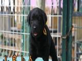 云浮总狗场--------高品质 拉布拉多幼犬出售了 保健康