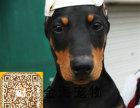 宠物狗纯种杜宾犬猛犬疫苗驱虫已做齐全包健康签协议