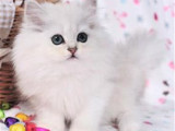 广东珠海猫舍直销金吉拉幼猫优惠出售