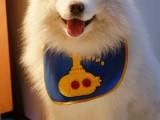 漳州CKU注册犬舍 各品种萌犬全国均可发货 可视频看狗