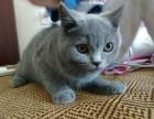 英国短毛猫3个月
