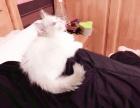 转让布偶猫DD两个月已疫苗驱虫一次送猫咪用品