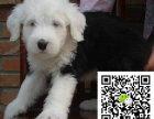 c赛级双纯血统白头通背古牧幼犬销售免疫齐全包