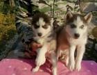 西安狗狗之家长期出售高品质 哈士奇 售后无忧