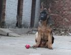 中国较大双血统德国牧羊犬黑背繁殖基地 可实地考察