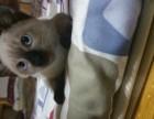 纯种暹罗猫找新家