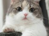 天津性格活泼黏人超甜美蓝猫宝宝出售 健康无病无癣