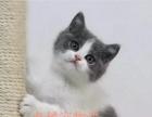 杭州猫舍出售纯血统英短蓝白 高品质可上门