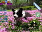 哪一家宠物店卖纯种健康的边境牧羊犬多少钱一只