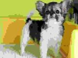 蝴蝶犬一只錢 里有賣蝴蝶犬的