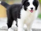 石家庄附近哪里有正规犬舍卖边境牧羊犬的 纯种边境牧羊犬一般多