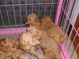 张家界格力犬驯养基地