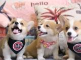 东莞 出售纯种柯基犬 狗狗出售 可签协议质保健康
