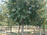 新疆北美海棠树多少钱 详情了解更多