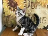 纯种美短标斑猫价格多少钱一只