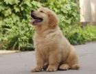 金毛犬三个月 驱虫疫苗已做完 购买签订活体协议
