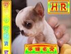 送货上门专业繁殖 吉娃娃幼犬签售后协议可见父母