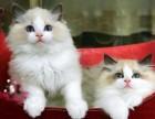 南宁哪里有布偶猫卖 海豹双色 重点手套均有CFA认可多只可挑