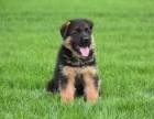 大连德牧幼犬出售 弓背德国牧羊犬出售 德牧图片 德牧犬舍