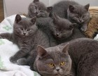 广州哪买宠物猫比较好 广州哪里有卖美短毛猫 美短毛猫多少钱