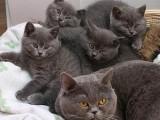 廣州哪里有貓舍 廣州去哪買藍貓好 藍貓市場價格多少