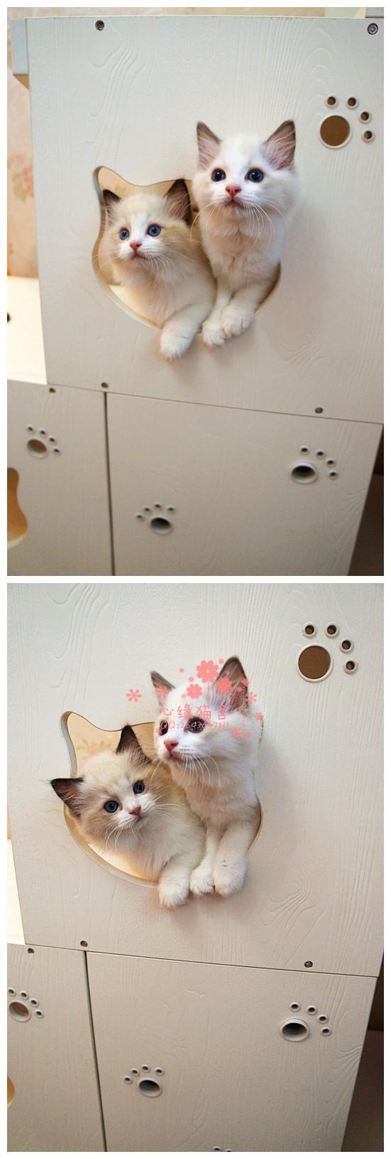 兰州哪里的布偶猫较便宜多少钱一只 兰州哪里有几百块钱布偶猫