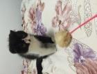 三个月的加菲猫找新家,一个弟弟,一个妹妹