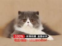 广州波斯猫 长毛波斯猫 白波斯猫 黄波斯蓝眼睛(包纯种健康)