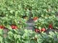 张家口市宣化洋河南镇丹丰草莓采摘周边游