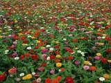 河北百日菊种子价格一公斤多少粒
